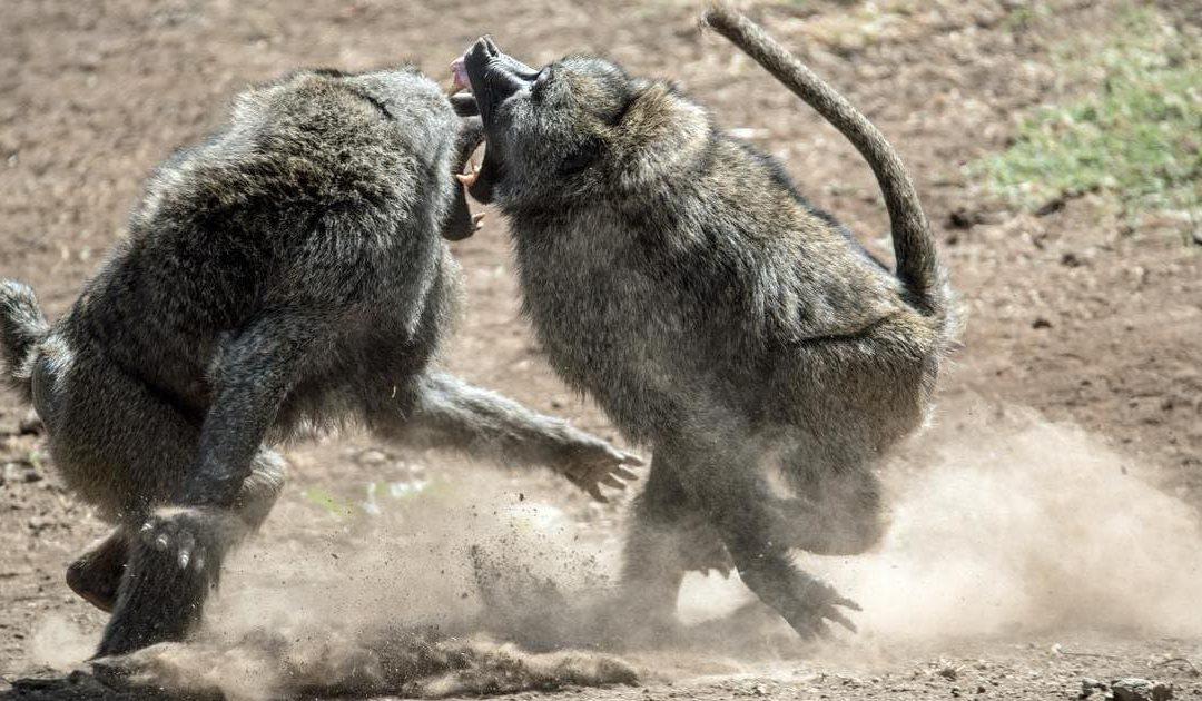 Le scimmie picchiatrici e la cultura aziendale. Le fake news della formazione